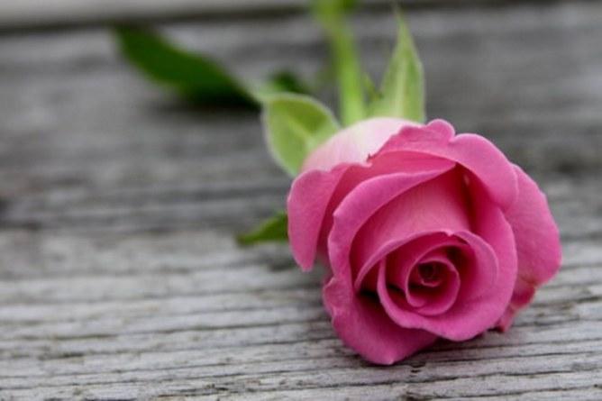 pink-rose-306624